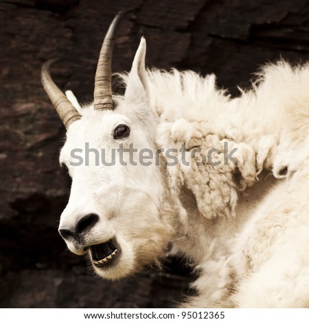 A nanny Rocky mountain goat (oreamnos americanus) looks alarmed. Sometimes called the Rocky Mountain ghost, this large-hoofed mammal found in North America lives at high elevations. - stock photo