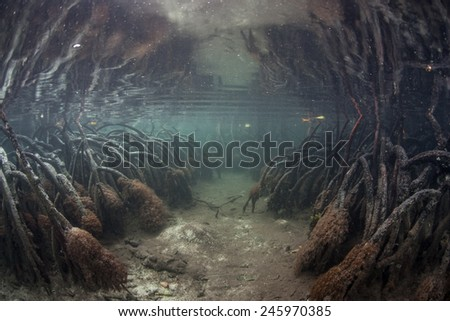 A narrow underwater channel leads into a dense mangrove forest in Raja Ampat, Indonesia. This remote region is known for high marine biological diversity and beautiful scuba diving.  - stock photo