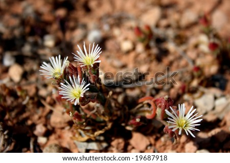 A naturalised African species with the size of each flower less than 10mm - Slenderleaf Iceplant - Mesembryanthemum nodiflorum - stock photo