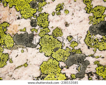 A nature abstract of bright yellow lichen on a rose quartz background as seen near Sentinel Pass in Banff National Park. - stock photo