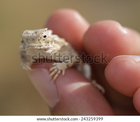 A neonate (baby) desert horned (Phynosoma platyrhinos)  lizard in the mojave desert. - stock photo