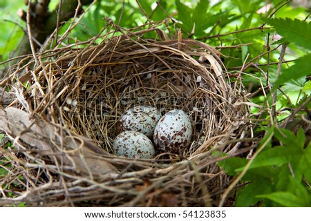 A nest filled with three Cardinal bird eggs in the branches of a Chinese Elm tree. - stock photo