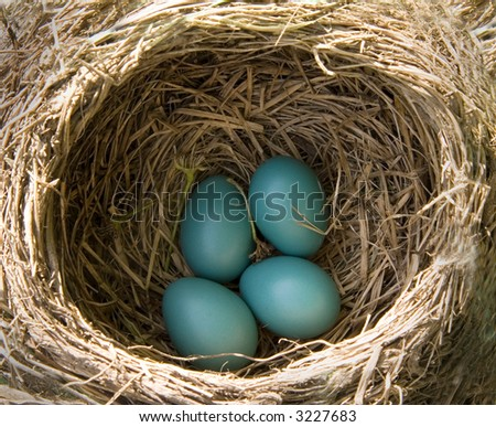 a nest of 4 robin's eggs ready to hatch - nest belongs to an American Robin - stock photo