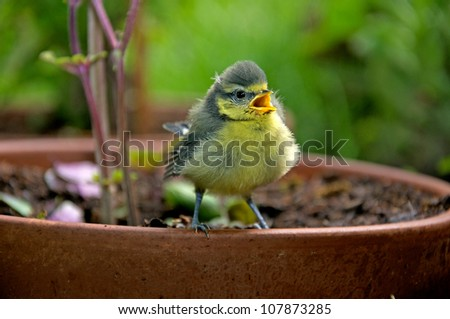 a nestling sitting on a clay flowerpot and chirping - stock photo