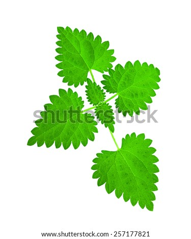 a nettle on white background - stock photo