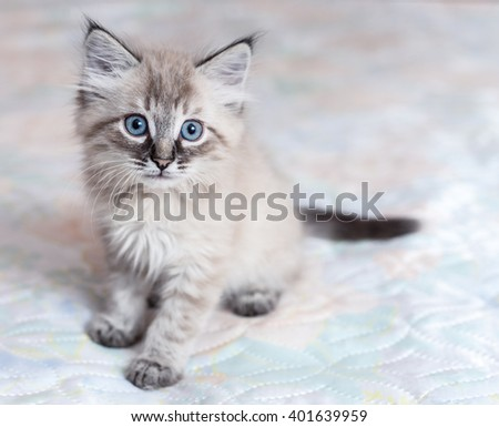 A Neva-Masquerade kitten sitting on the bed - stock photo