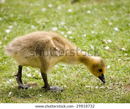 A new born Canada goose gosling looking for food on the grass.