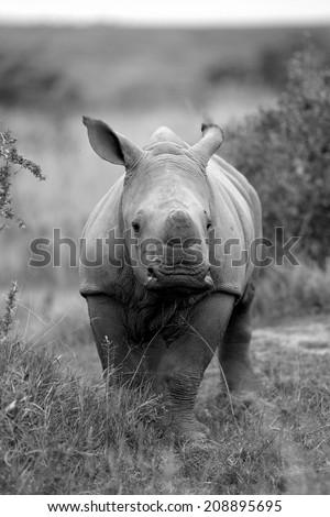 A new born white rhino / rhinoceros in this black and white portrait image. - stock photo