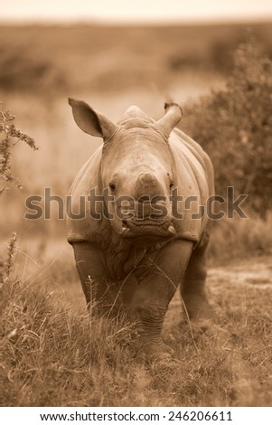 A new born white rhino / rhinoceros in this black and white portrait image. - stock photo