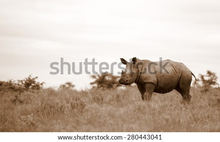 A new born white rhino / rhinoceros in this sepia tone portrait image - stock photo
