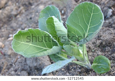A new cabbage plant in a dewy spring garden - stock photo