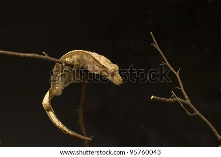 A New Caledonian crested gecko ( Rhacodactylus Ciliatus) perched on a dry tree branch.