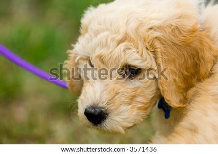 """A new cross breed of puppy is becoming very popular, it is a cross between a Poodle and a Golden Retriever, aptly nicknamed a """"GoldenDoodle"""". - stock photo"""
