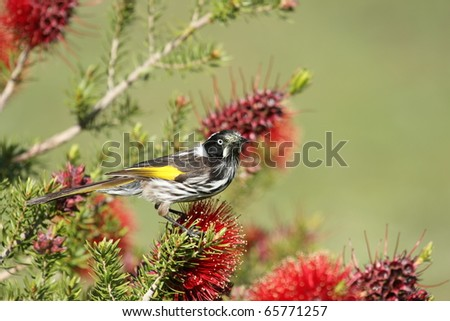 A New Holland Honeyeater (Phylidonyris Novaehollandiae) perching on a banksia flower, Grampians National Park, Victoria, Australia