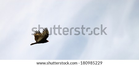 A New world Vulture AKA the Turkey Vulture (buzzard) in flight high above on a smooth cloud filled day outside during the winter in Gloucester Virginia USA - stock photo