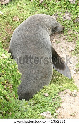 A New Zealand seal rests on a cushioned shore after several days at sea in the cool waters off the coast of South Australia. - stock photo