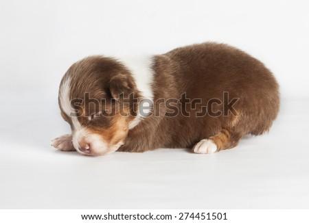 A newborn Australian Shepherd in studio - stock photo