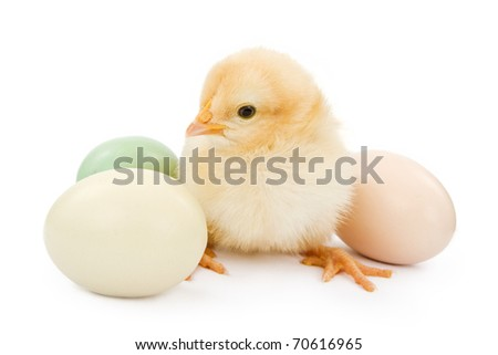 A newborn baby yellow chicken next to three pastel color Easter egg. Isolated on white.