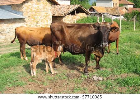 A newborn calf sucks from his mother in the farm - stock photo