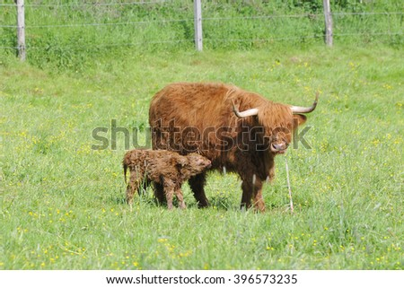 A newborn highland cattle on a meadow.