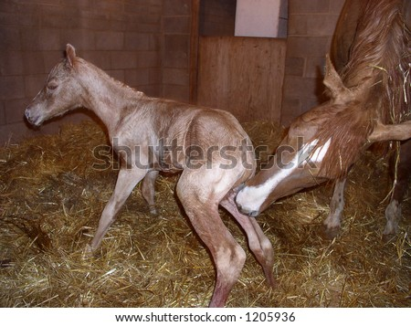 a newborn horse standing up for the first time with its mother cleaning it