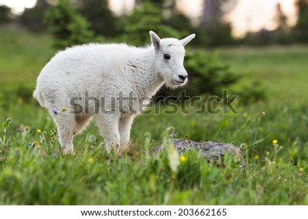 A newborn mountain goat grazing in Glacier National Park, Montana.