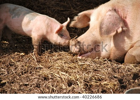 A newborn piglet, nose to nose with its mother inside their pen. - stock photo