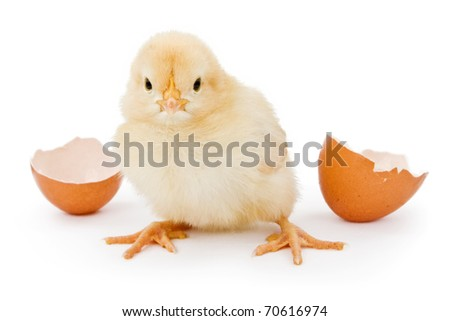 A newborn yellow baby chicken next to a brown open egg shell - stock photo