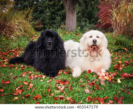 a newfoundland and a a great pyrenees laying in a local park during fall with the autumn leaves on the grass around them  - stock photo