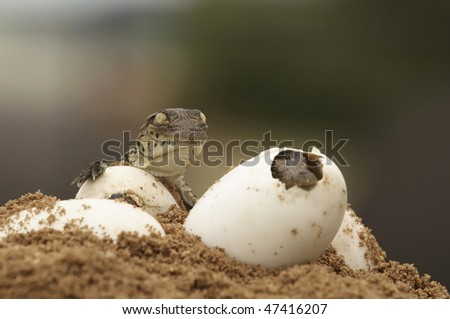 A newly hatched crocodile and one during hatching - stock photo
