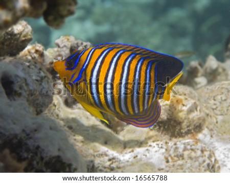 A nice and colored royal angelfish - stock photo