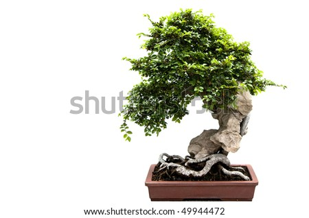 A nice bonsai tree isolated on a white background. - stock photo