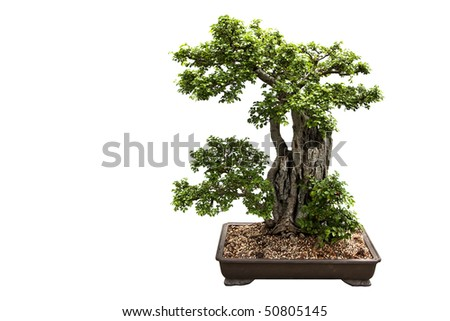 A nice bonsai tree isolated on a white background.