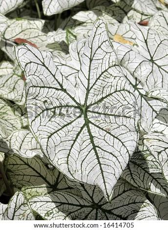 A nice caladium leaf with green veins - stock photo