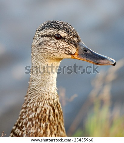A nice close-up of a mallard very sharp and clear - stock photo