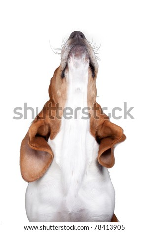 A nice image of a Basset Hound howling. - stock photo