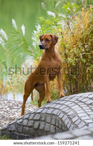 A nice looking black nosed Rhodesian Ridgeback female is standing on a stone wall - stock photo
