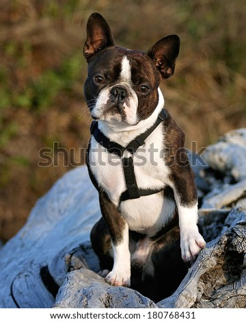 a nice looking boston terrier posing on a piece of driftwood - stock photo