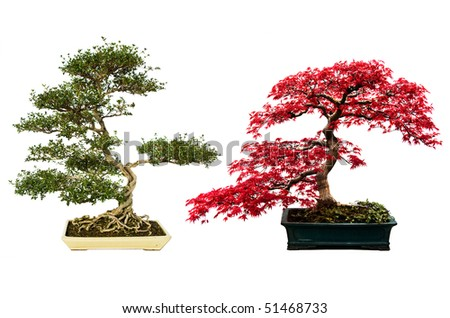 A nice pair of bonsai trees isolated on a white background. - stock photo