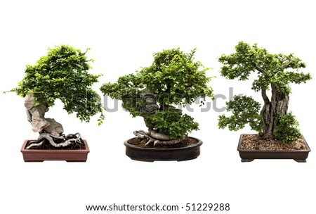A nice trio of bonsai tree isolated on a white background. - stock photo