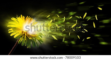 A nice yellow dandelion explode and the leaf is flying away