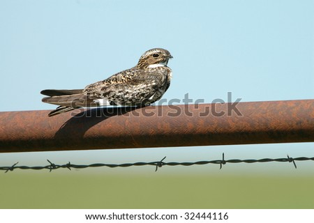 A nighthawk perched on an old rusted fence pole in the Flint Hills of Kansas. - stock photo