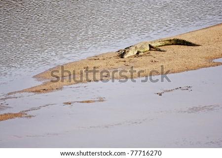A Nile crocodile basking on a sand bank - stock photo