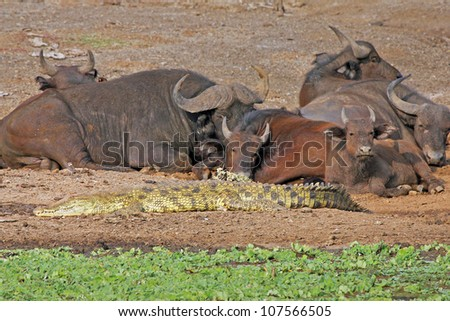 A Nile Crocodile (Crocodylus niloticus) rests on the banks of the Kazinga Channel in Uganda, Africa (African Buffalo watch closely) - stock photo