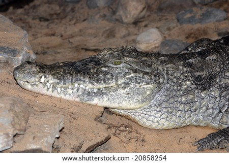 A nile crocodile with it's mouth closed - stock photo