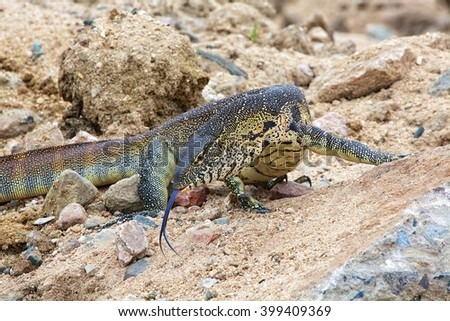 a nile monitor in the kruger national park south africa - stock photo