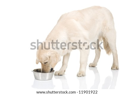 A nine month old golden retriever on a white background, eating. - stock photo