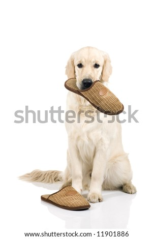 A nine month old golden retriever with slippers on a white background. - stock photo