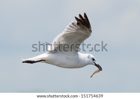 A non-breeding adult Laughing gull with small shrimp in mouth