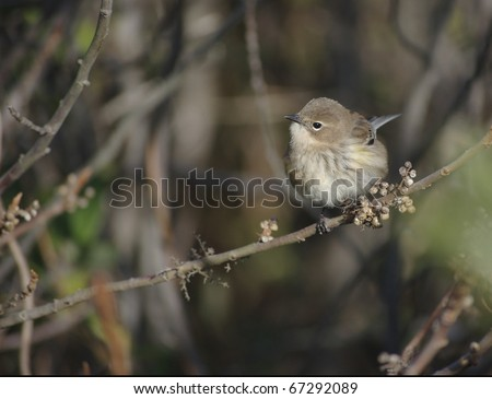 A nondescript warbler in his winter feathers in Cape May, NJ in November - stock photo